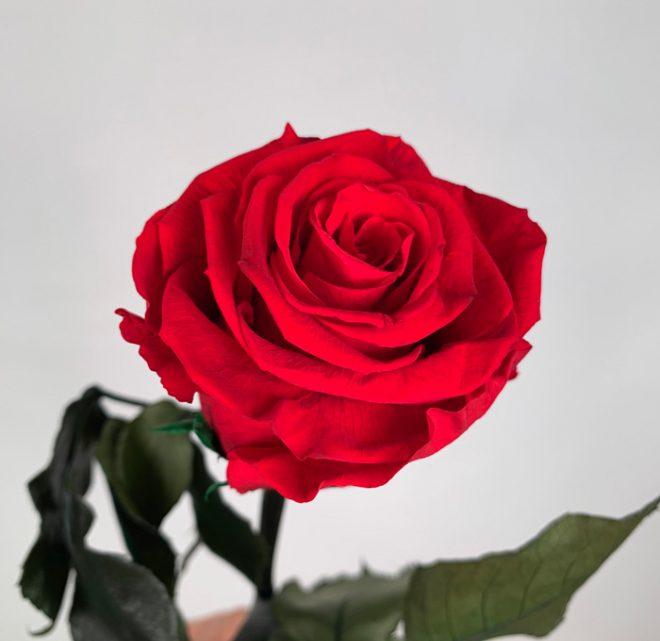 Comment préserver les roses éternelles ?