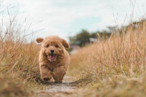 Un jolie caniche